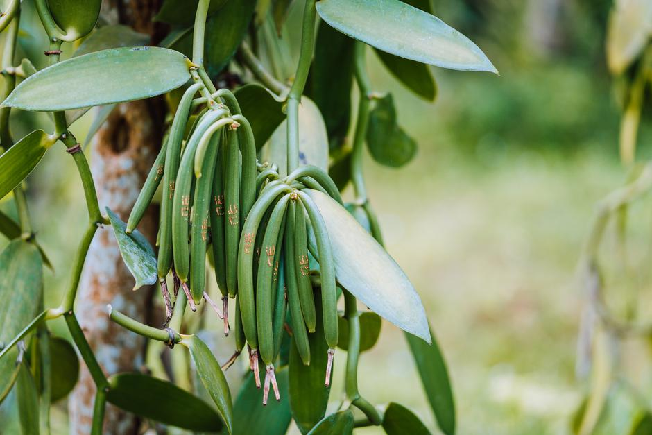Closeup of vanilla plant green pod on plantation. Agriculture in tropical climate | Autor: miniloc