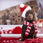 Christmas wreath on neck dachshund puppy