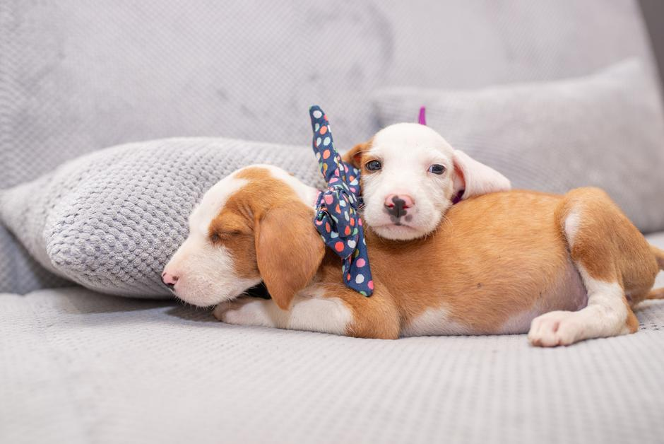 Puppies with bow ties | Autor: Zlatko Necevski