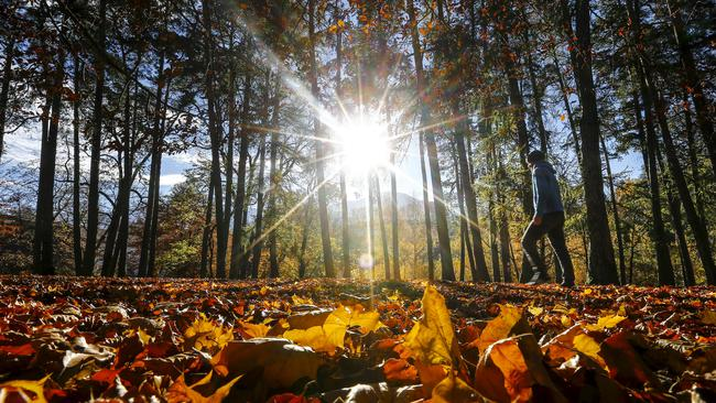A man walks in a park full of autumn coloured leaves during a sunny day in the western Austrian city of Innsbruck