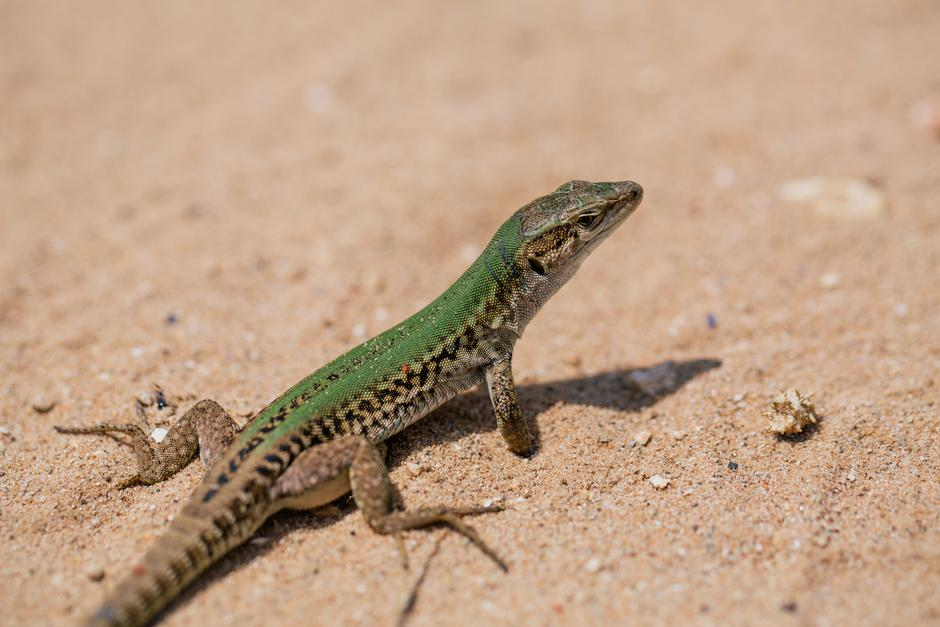 Green Lizard in the sand in the Fasano apulia Italy | Autor: Aleksejs Bergmanis