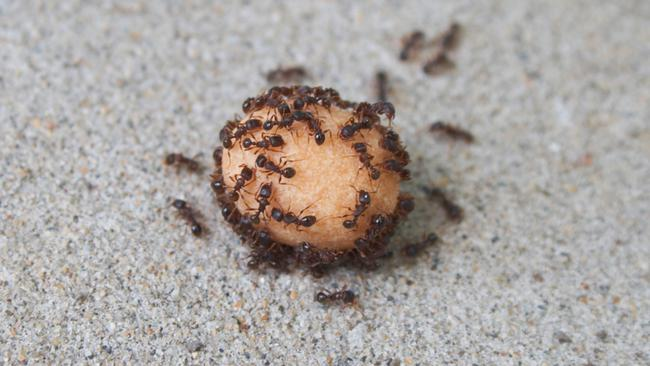 Ants eating