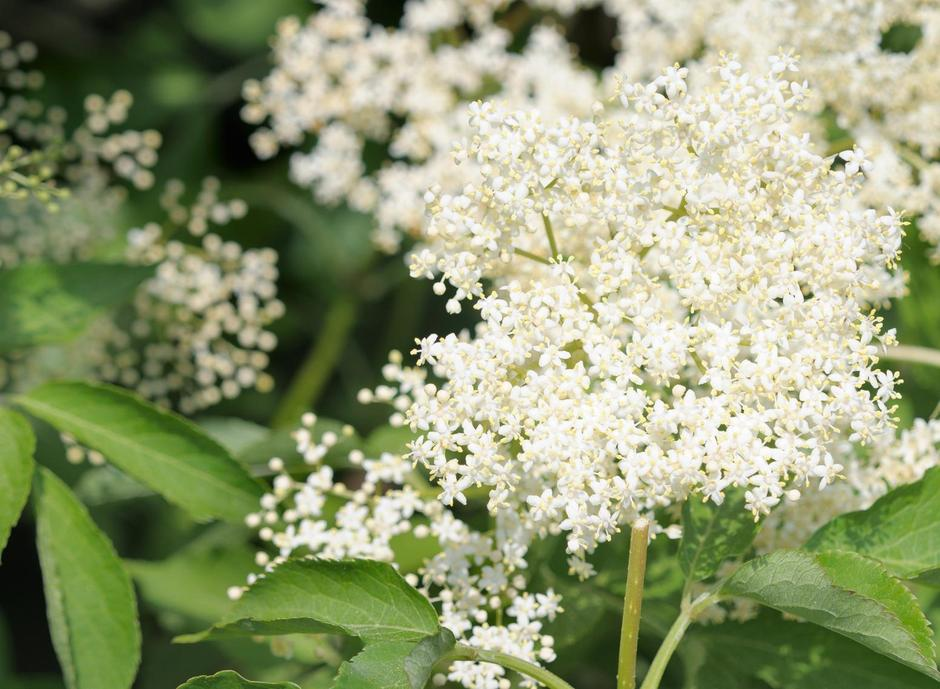 Elderflower (sambucus nigra) clusters, ready for picking | Autor: John Pavel