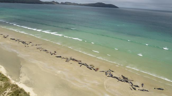 A supplied image shows around 145 pilot whales that died in a mass stranding on a beach on Stewart Island, located south of New Zealand's South Island
