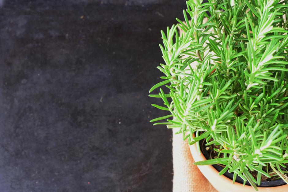 Rosemary plant in a ceramic pot on a dark abstract background. | Autor: Dreamstime