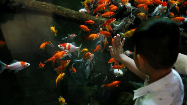 A young boy watches a goldfish aquarium as Paris aquarium launched an operation to take care of hundreds of goldfish abandoned by French holiday-makers, in Paris
