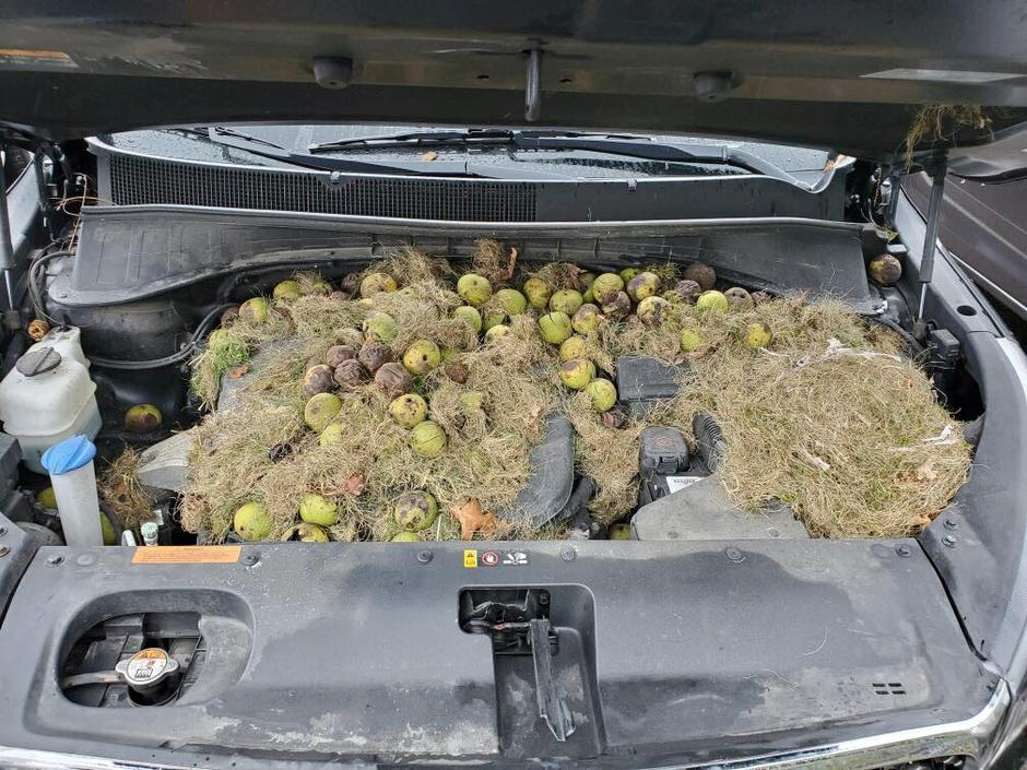 Walnuts and grass hidden by squirrels are seen under the hood of a car, in Allegheny County, Pennsylvania, U.S. in this October 7, 2019 image obtained via social media | Autor: Social Media