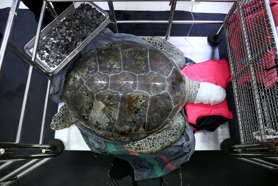 Omsin, a 25 year old femal green sea turtle, rests next to a tray of coins that were removed from her stomach at the Faculty of Veterinary Science, Chulalongkorn University in Bangkok | Autor: Athit Perawongmetha/Reuters/PIXSELL