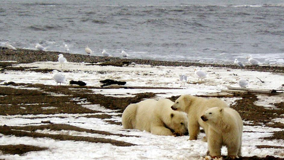 File picture of polar bears within the 1002 Area of the Arctic National Wildlife Refuge