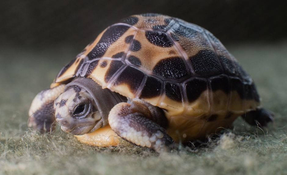 Madagascan spider turtle at Hannover Zoo | Autor: Julian Stratenschulte/DPA/PIXSELL