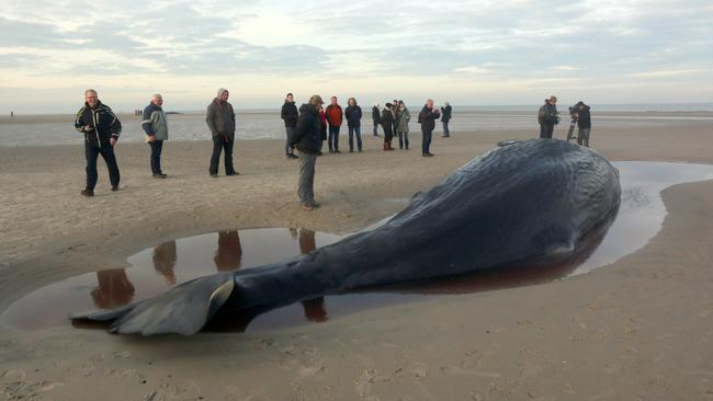 Two dead sperm whales washed ashore on Wangerooge island