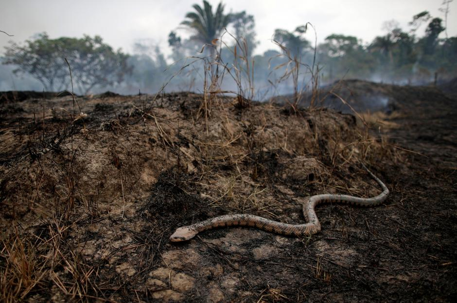 Snake is seen while a tract of Amazon jungle after a fire while as it is being cleared by loggers and farmers in Porto Velho | Autor: UESLEI MARCELINO/REUTERS/PIXSELL/REUTERS/PIXSELL