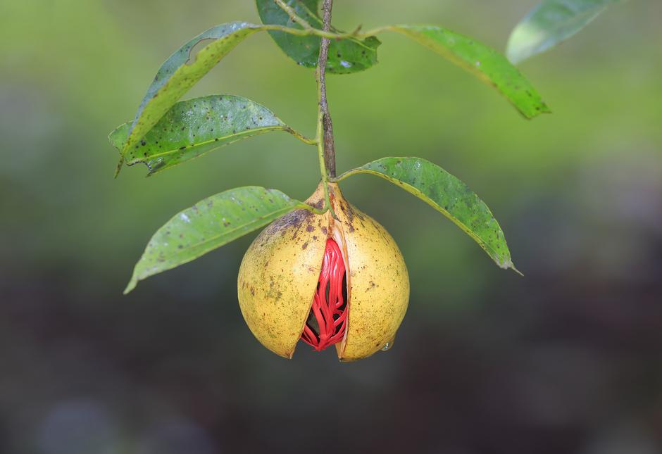 Nutmeg on a tree | Autor: Anilkumarphotography