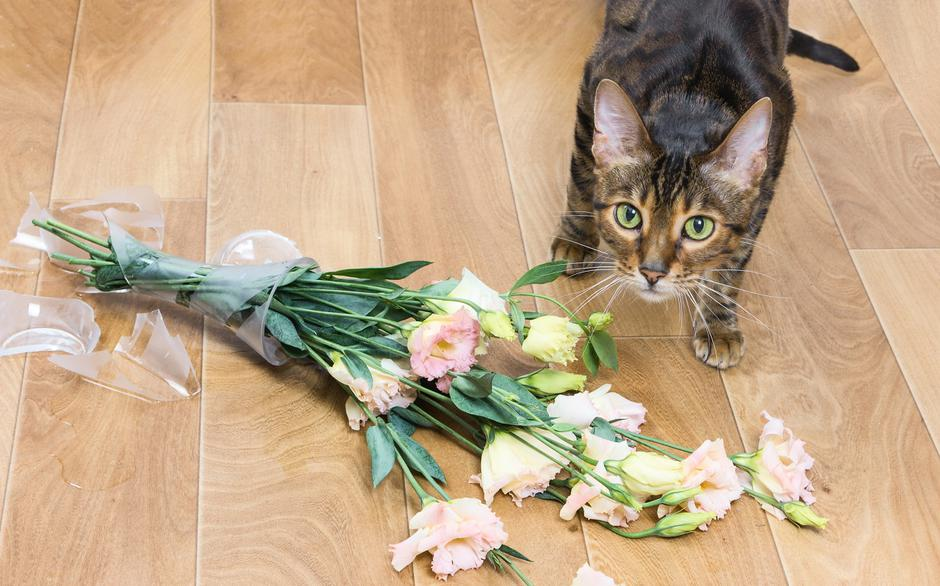 Cat breed toyger dropped and broken glass vase of flowers.   | Autor: Dreamstime