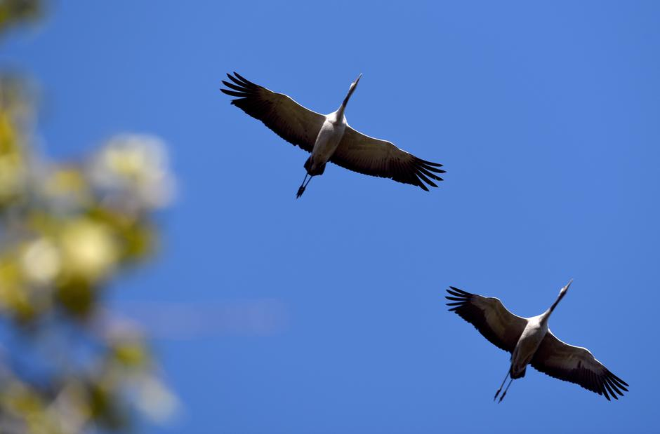 Cranes in flight over Germany | Autor: Ralf Hirschberger/DPA/PIXSELL
