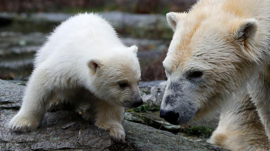 A female polar bear cub is seen together with 9 year-old mother Tonja during her first official presentation for the media at Tierpark Berlin zoo in Berlin | Autor: FABRIZIO BENSCH