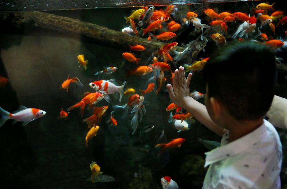 A young boy watches a goldfish aquarium as Paris aquarium launched an operation to take care of hundreds of goldfish abandoned by French holiday-makers, in Paris | Autor: PASCAL ROSSIGNOL/REUTERS/PIXSELL/REUTERS/PIXSELL