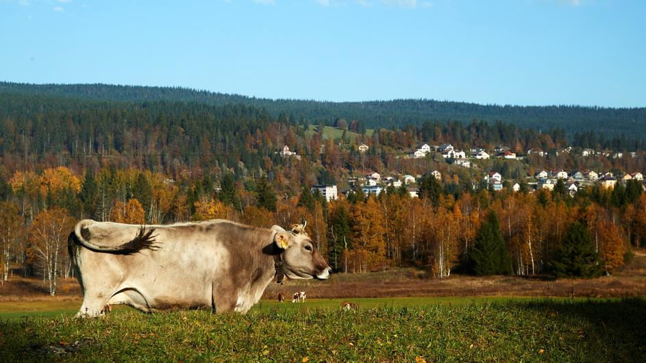 A cow grazes in a field on a sunny autumn day in the Valley de Joux near Le Chenit