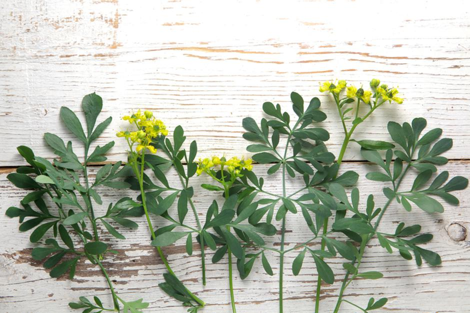Rue herb plant. Lithuanian traditional plant | Autor: Dreamstime