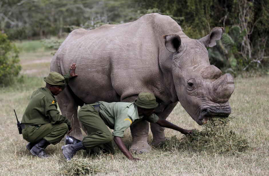 Wardens assist the last surviving male northern white rhino named 'Sudan' as it grazes at the Ol Pejeta Conservancy in Laikipia national park, Kenya | Autor: THOMAS MUKOYA/REUTERS/PIXSELL/REUTERS/PIXSELL