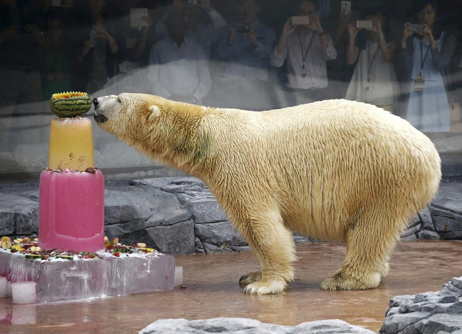 FILE PHOTO - Inuka, the first polar bear born in the tropics, enjoys an ice cake during its 25th birthday celebrations at the Singapore Zoo | Autor: Edgar Su