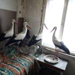 Storks that were saved by Bulgarian farmer Ismail are pictured in the village of Zaritsa