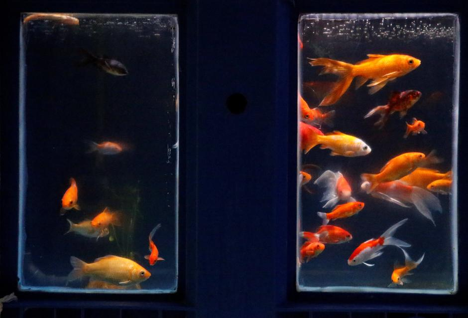 Goldfish are seen in a quarantaine basin as Paris aquarium launched an operation to take care of hundreds of goldfish abandoned by French holiday-makers, in Paris | Autor: PASCAL ROSSIGNOL/REUTERS/PIXSELL/REUTERS/PIXSELL