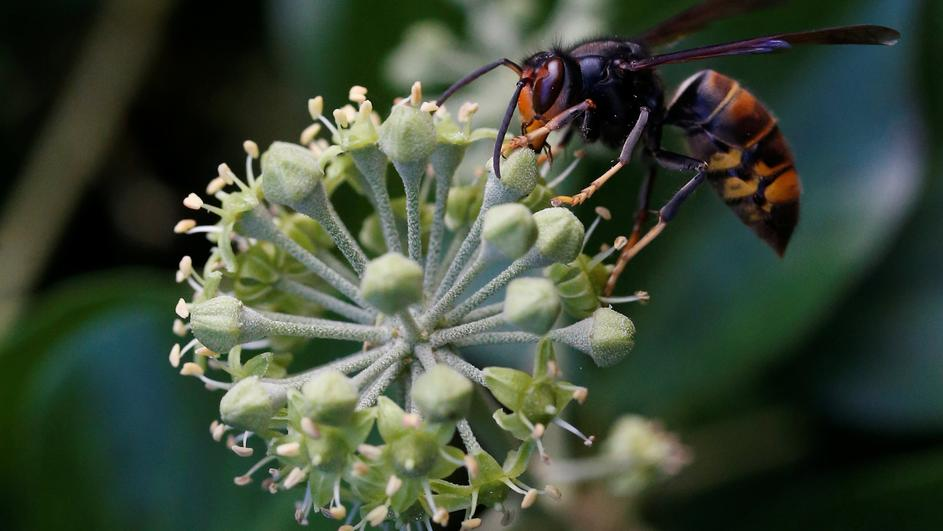 "An Asian hornet, Latin name ""Vespa Velutina"", is seen in Vertou"