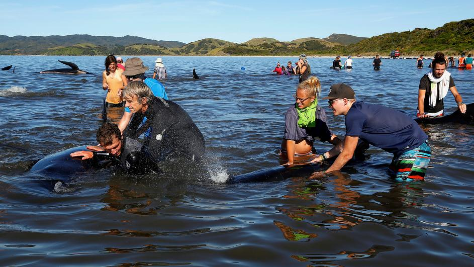 Volunteers try to guide some of the stranded pilot whales still alive back out to sea after one of the country's largest recorded mass whale strandings, in Golden Bay, at the top of New Zealand's South Island