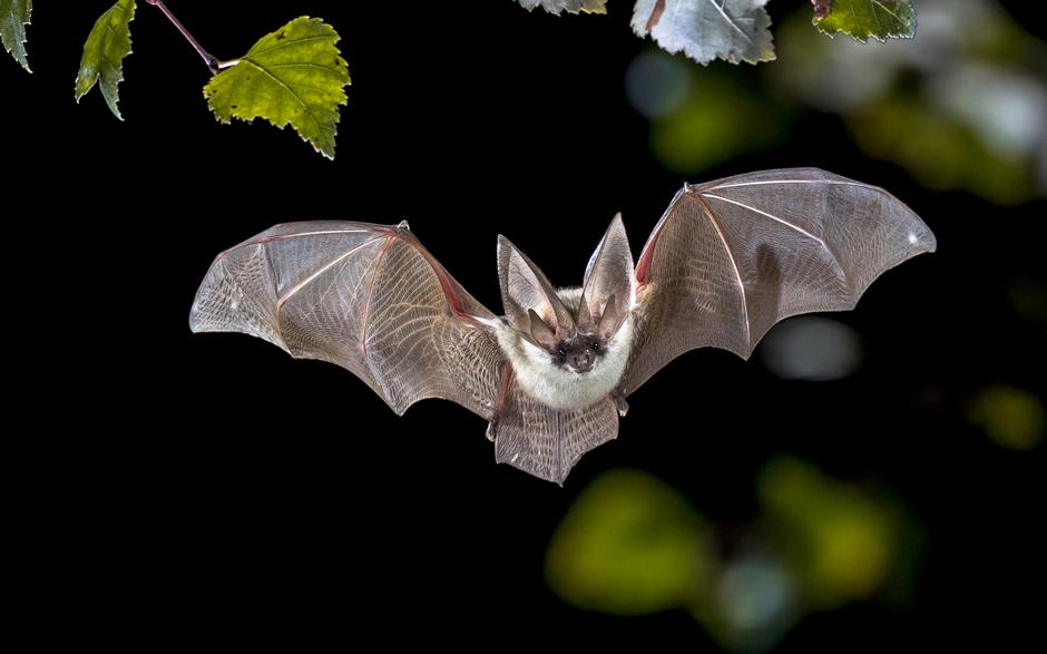 Flying Grey long eared bat in forest | Autor: Rudmer Zwerver